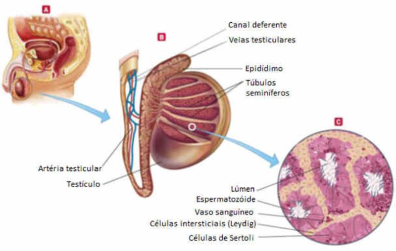 Glosario - Embryology Medical