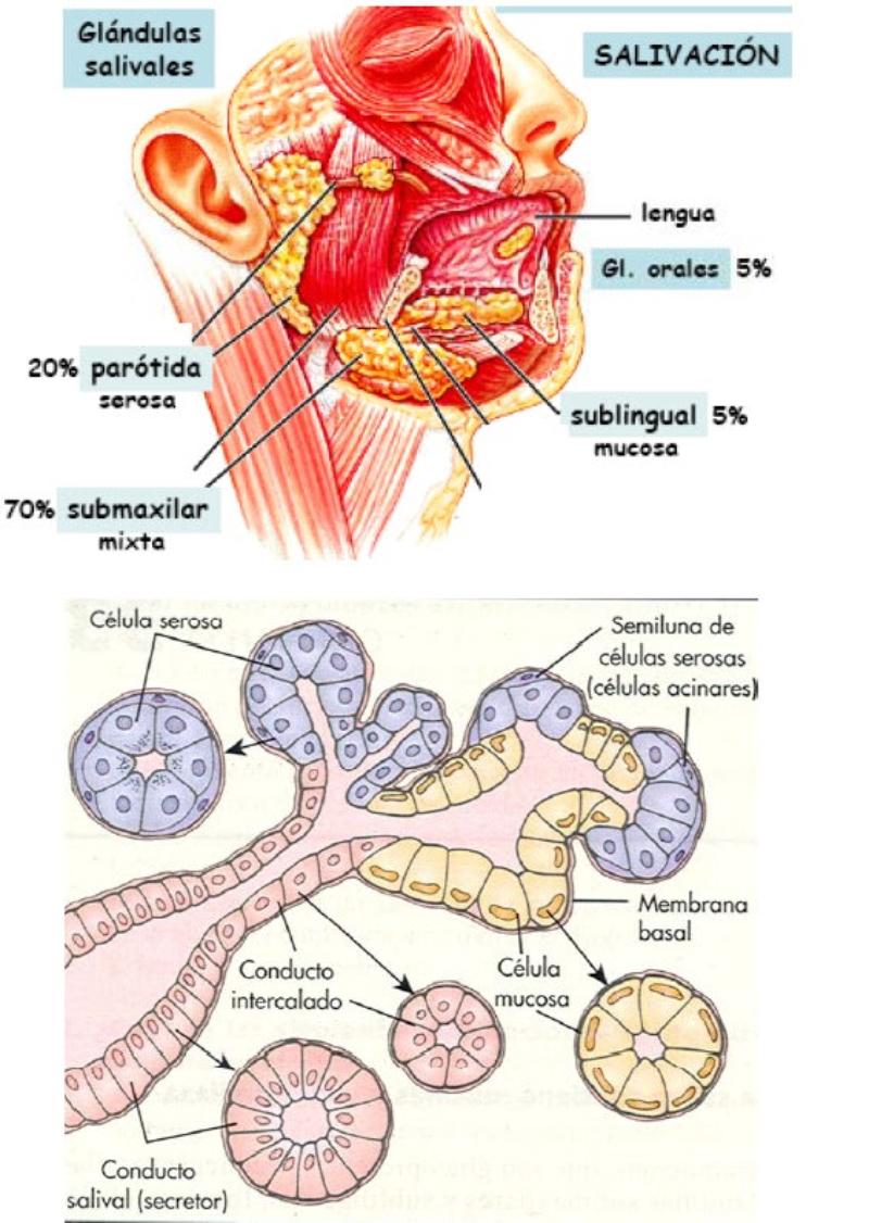 Vistoso Conductos De Las Glándulas Salivales Anatomía Colección de ...
